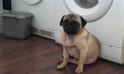 pugs for sale in maidstone fawn pug for sale maidstone kent pets4homes