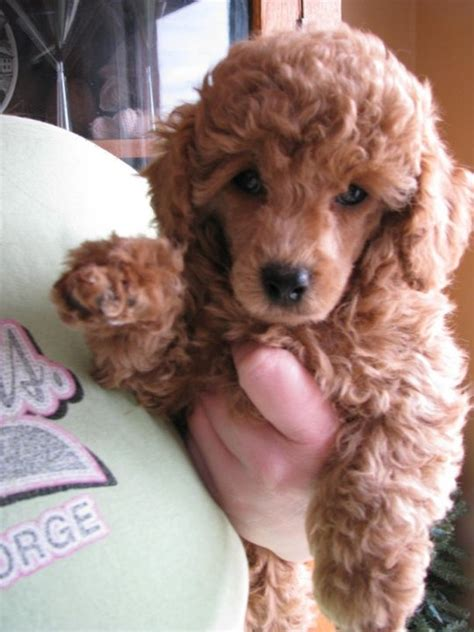 toy poodle haircuts pictures 17 best images about poodle haircuts on pinterest