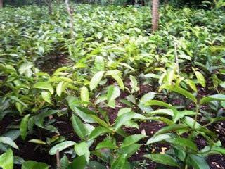 Bibit Buah Manggis buah dan bibit dijual bibit manggis putih