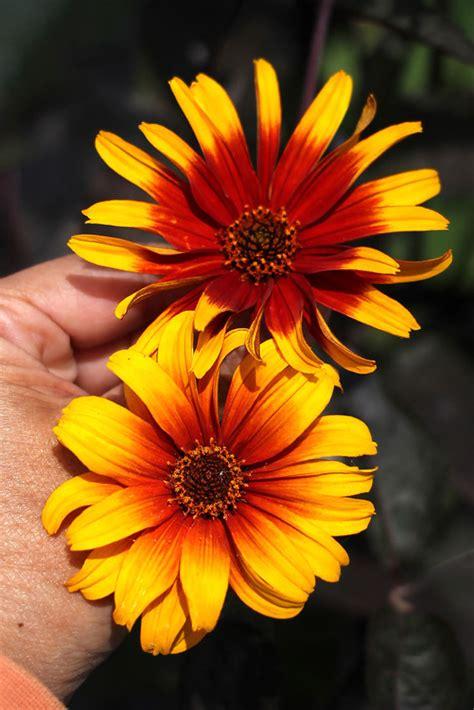 heliopsis helianthoides burning hearts false sunflower
