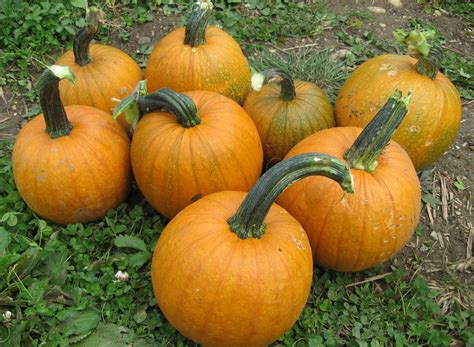 growing pumpkins for notstraight gardens how to grow pumpkins with companion