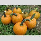 Pumpkins Growing   1200 x 880 jpeg 328kB