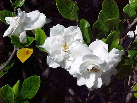 gardenia gardenia jasminoides  augusta