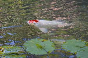 Backyard Tilapia Backyard Aquaculture Raise Fish For Profit Worldwide