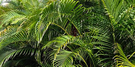 areca palm areca