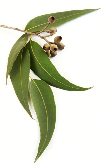 Promo Sensatia Botanicals Eucalyptus Leaf Essential 10ml eucalyptus radiata essential eucalyptus radiata luminescents
