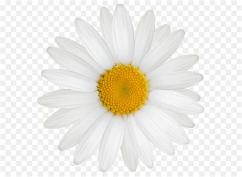 Marguerite Coffee Bun chamomile oxeye transvaal chrysanthemum