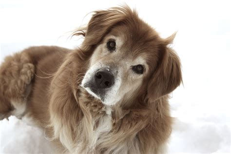 senior dogs part three behaviors explained in plain talk by the experts decoding your