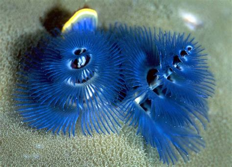 christmas tree worms life lines