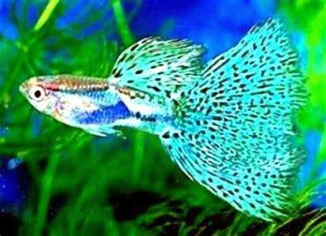 budidaya ikan guppy usaha budidaya dan beternak