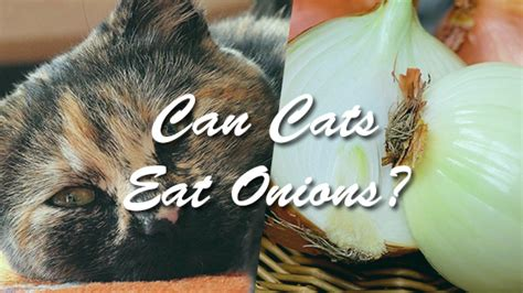 my ate onions can cats eat onions pet consider