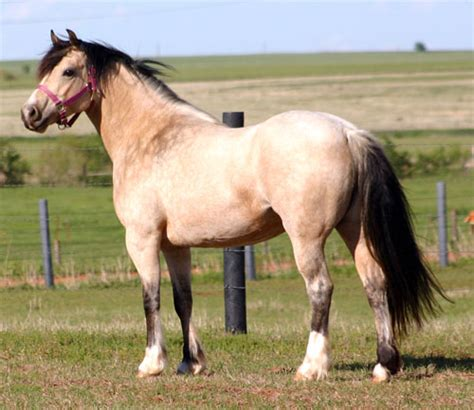 welsh cob section c section c welsh cob filly heavenly by his grace