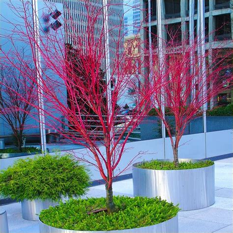 Indoor House Plant by Acer Palmatum Sango Kaku Coral Bark Maple Large Specimen