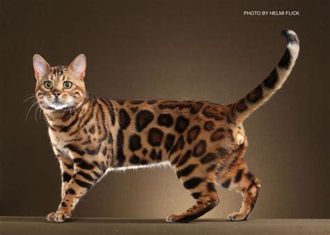 Bengal Kittens for Sale in Georgia   Breeder Brown, Silver