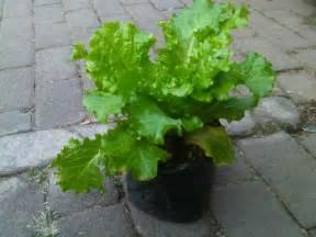 Benih Bunga Adenium 57 jual tanaman selada keriting bibit