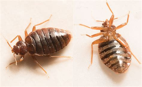 bed bug success stories 10 recent bed bug developments pest management professional