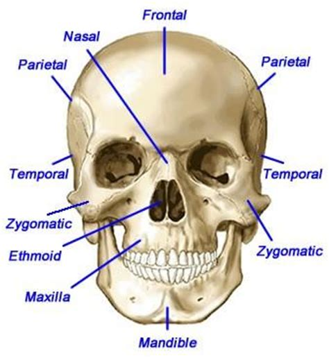 the human skull is divided into what two sections kine 3600 test 1 studyblue
