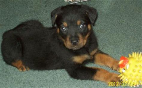 what to feed a 7 week puppy 7 week puppy still has dew claws what to do a of rottweilers