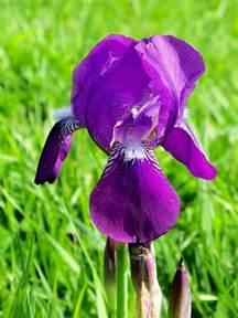tennessee state flower tennessee state flower the purple iris hubpages