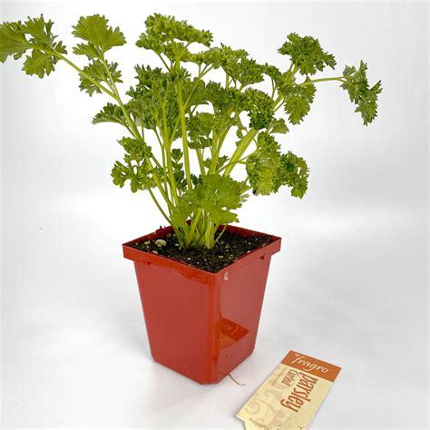 parsley flatleaf italian  herbs arts nursery garden