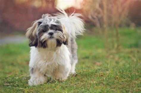 shih tzu wheezing what are the characteristics of a shih tzu 4 steps