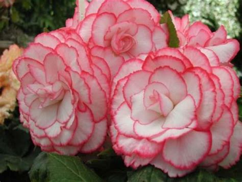 68 best images about begonias on pinterest gardens hanging baskets and wings