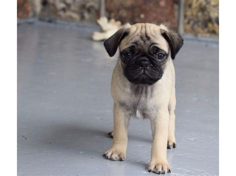 pug puppies available our unbeatable pug puppies available animals riverdale california announcement