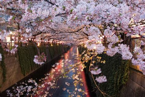 Images Of Christmas Trees we should all adopt hanami the japanese tradition of