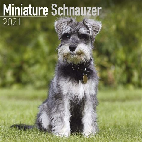 miniature schnauzer dog breed history   interesting facts