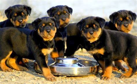different rottweiler types different breeds of rottweilers dogs trend home design and decor