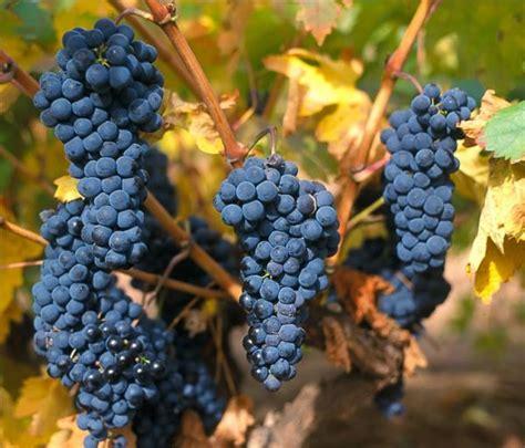 imagenes de uvas tintas uva tempranillo marca espa 241 a noticias de vinos