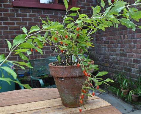 goji coltivazione in vaso coltivare la bacca di goji frutteto