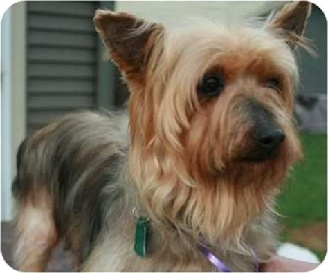 yorkie silky mix yorkie terriersilky terrier mix for adoption in jenks breeds picture
