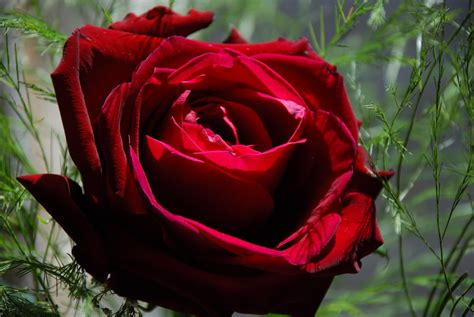 Rose S | red roses best flowers red rose rose the beautiful red