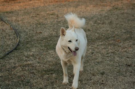 arctic wolf puppies auora the arctic wolf img 4249 flickr photo