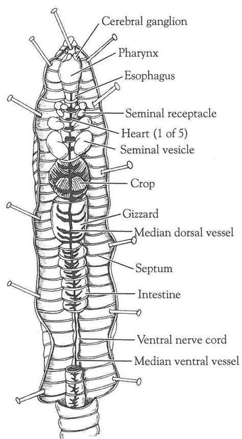 earthworm diagram and label open versus closed circulatory system dissection of the crayfish and earthworm carolina