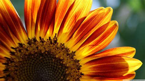 sunflower  hd desktop wallpaper   ultra hd tv