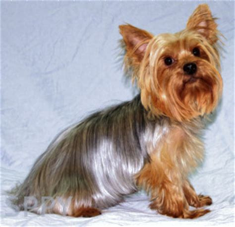 do yorkies hair or fur strong s pups poms poodles yorkies