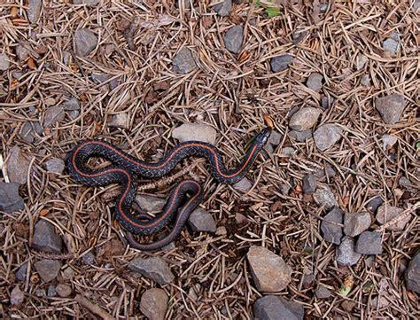 Garden Snake With Stripes Northwestern Garter Snake Thamnophis Ordinoides