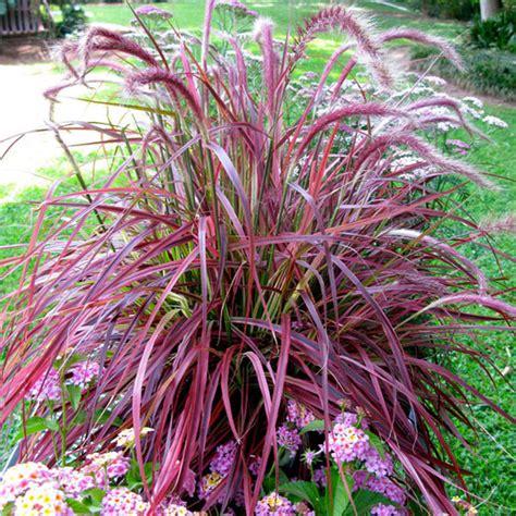 variegated purple fountain grass finegardening