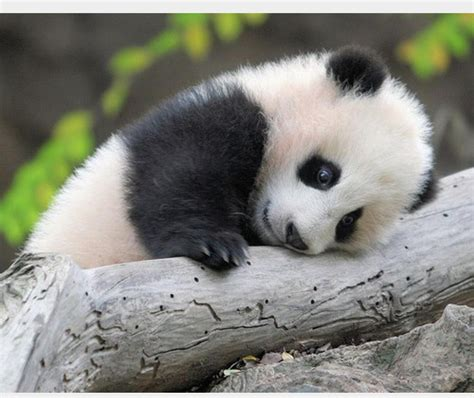 Sad Panda Meme - sad panda blank template imgflip