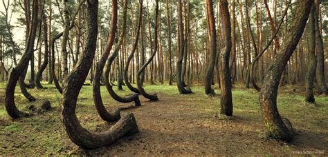 Crooked Forest Poland by Wald Bldrm