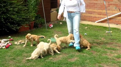 goldendoodle puppy exercise goldendoodle puppies house