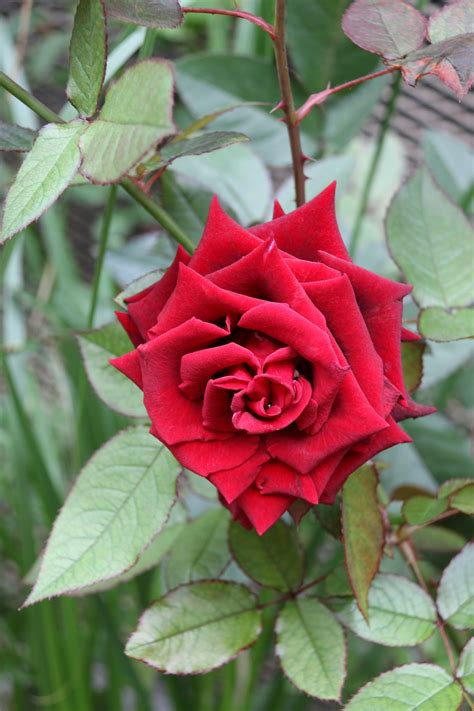 Mawar Hijau Green Roses Plants Tanaman Bunga Hias Unik Langka gambar alam mekar menanam daun bunga berkembang bunga hijau merah segar botani flora