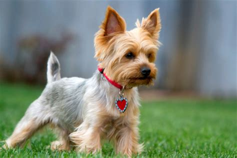want to breed my yorkie meet the breed terrier