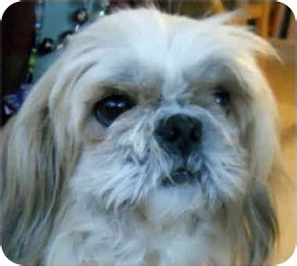 shih tzu rescue nj tiny tim nj adopted sc121910 mays landing nj shih tzu