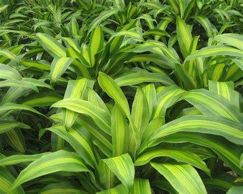 dracaena fragrans dracaena fragrans massangeana happy plant this lovely