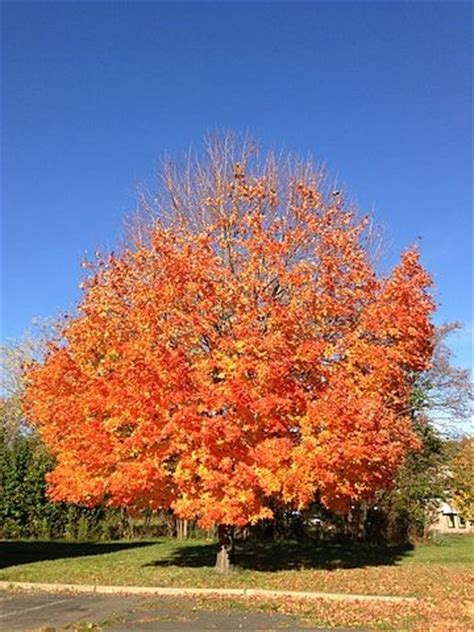 maple tree not it s getting out there how do our trees deal with the heat environment