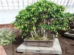 Bibit Bonsai Beringin bonsai pohon beringin