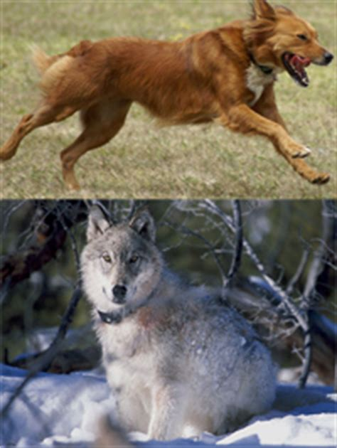 difference between wolves and dogs difference between wolf and difference between